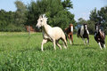 Palomino quarter horse running in front of others on pasturage Stock Photography