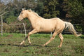Palomino quarter horse running on pasturage in autumn Stock Photo