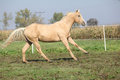 Palomino quarter horse running on pasturage in autumn Royalty Free Stock Photo