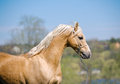 Palomino stallion Royalty Free Stock Photos