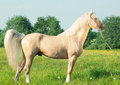 Palomino stallion of welsh cob breed outdoor Royalty Free Stock Photos
