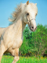 Palomino welsh pony in motion in blossom field outdoor Royalty Free Stock Photography