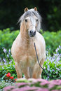 Palomino Welsh pony portrait in flowers Stock Images