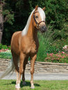 Palomino welsh pony sunny day Royalty Free Stock Photo