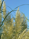 Pampas   Royalty Free Stock Photo