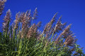 Pampas grass against the blue sky Royalty Free Stock Image
