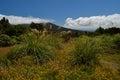 Pampas grass on an alpine meadow cortaderia selloana taranaki volcano new zealand Stock Photos