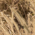 Pampas grass background of a Royalty Free Stock Photo