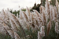 Pampas grass blowing in the wind Stock Photography
