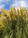 Pampas grass and blue sky with clouds the nature of south russia Stock Photo