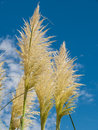 Pampas grass and blue sky group of cortaderia selloana with Royalty Free Stock Image