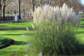 Pampas grass (Cortaderia selloana) Stock Photo