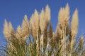 Pampas grass cortaderia selloana against clear sky Stock Photo