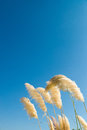 Pampas grass feathers bent by a breeze against a blue sky Stock Images