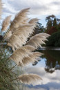 Pampas grass in full bloom swaying in the breeze Stock Photos