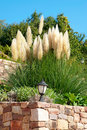 Pampas-grass in the garden Royalty Free Stock Photography
