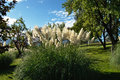 Pampas grass garden with bloom Royalty Free Stock Photos
