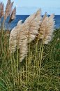 Pampas grass landscape with on the coast Stock Photos