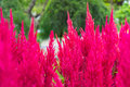 Pampas grass ornamental gynerium argenteum with burgundy silky panicle a very tall Royalty Free Stock Photo