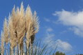 Pampas grass pictured rose against a background of blue sky Stock Photography