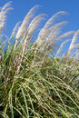 Pampas grass reaching to a deep blue sky Stock Photo
