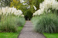 Pampas grass. Royalty Free Stock Photo