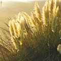 Pampas grass at seashore backlit the Royalty Free Stock Photo