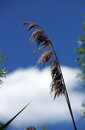 Pampas grass single stalk of against a beautiful sky Stock Photography