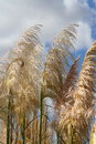 Pampas grass with a sky background Royalty Free Stock Photo