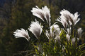Pampas grass sun white wind Royalty Free Stock Images