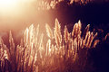 Pampas grass at the sunset Royalty Free Stock Photo