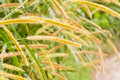 Pampas grass wild closeup in the rainforest of belize Stock Photo