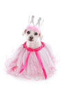 Pampered pooch princess wearing a pale pink tulle dress and bejewelled crown party halloween etc white background Stock Image