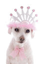 Pampered princess pet dog little a small white clipped maltese terrier a very wearing a tiara and pink and white spotted ribbon Royalty Free Stock Photos