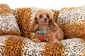 Pampered Toy Poodle Stock Image