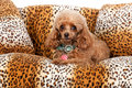 Pampered toy poodle sitting on a spotted couch shot on a white background Stock Photos