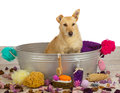 Pampering time at the dog parlour for a cute golden coloured terrier who is sitting waiting patiently in a metal bathtub Stock Photo