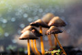 Panaeolina foenisecii common garden mushroom a lawn sprouts on its stalks from a bed of much in a rain soaked flower bed with a Stock Photo