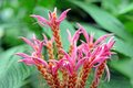 Panama queen flower Royalty Free Stock Photo