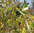 Panamanian yellow grapes Royalty Free Stock Photo