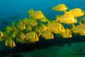 Panamic porkfish anisostremus taeniatus schools of in the reefs of cabo pulmo national park world heritage site baja california Stock Image