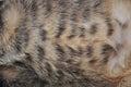 Pancia del gatto Fotografie Stock