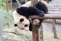 Panda baby in play Royalty Free Stock Photo