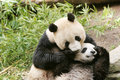 Panda bear and cub Stock Photo