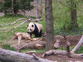 Panda bear is resting Royalty Free Stock Photo
