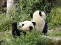 Panda bears Royalty Free Stock Photography
