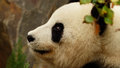 Panda a beautiful poses for the camera daydreaming Royalty Free Stock Images