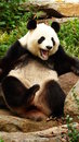 Panda a beautiful posing for the camera Royalty Free Stock Photography