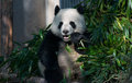 stock image of  Panda in Chengdu, Sichuan, China