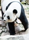 Panda in the chiang mai zoo thailand Royalty Free Stock Image